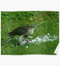 Sparrowhawk Poster