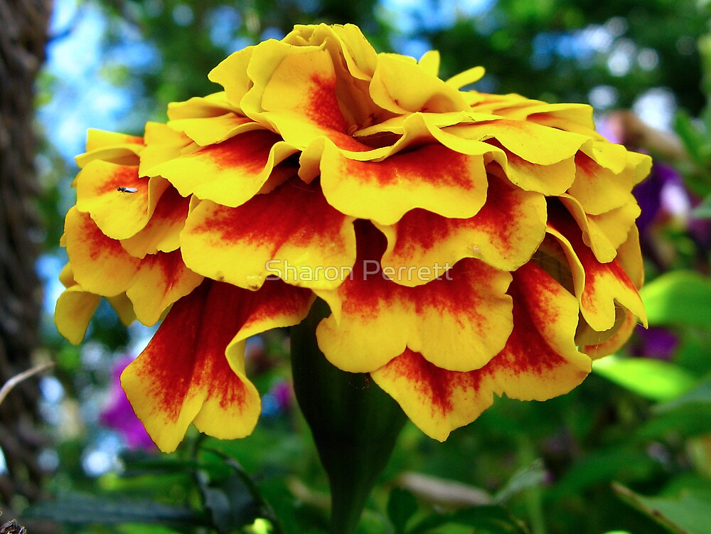 The Marigold by Sharon Perrett