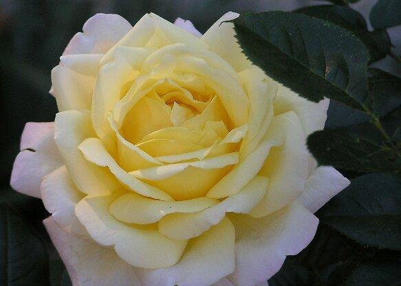 White Rose by BCStevens