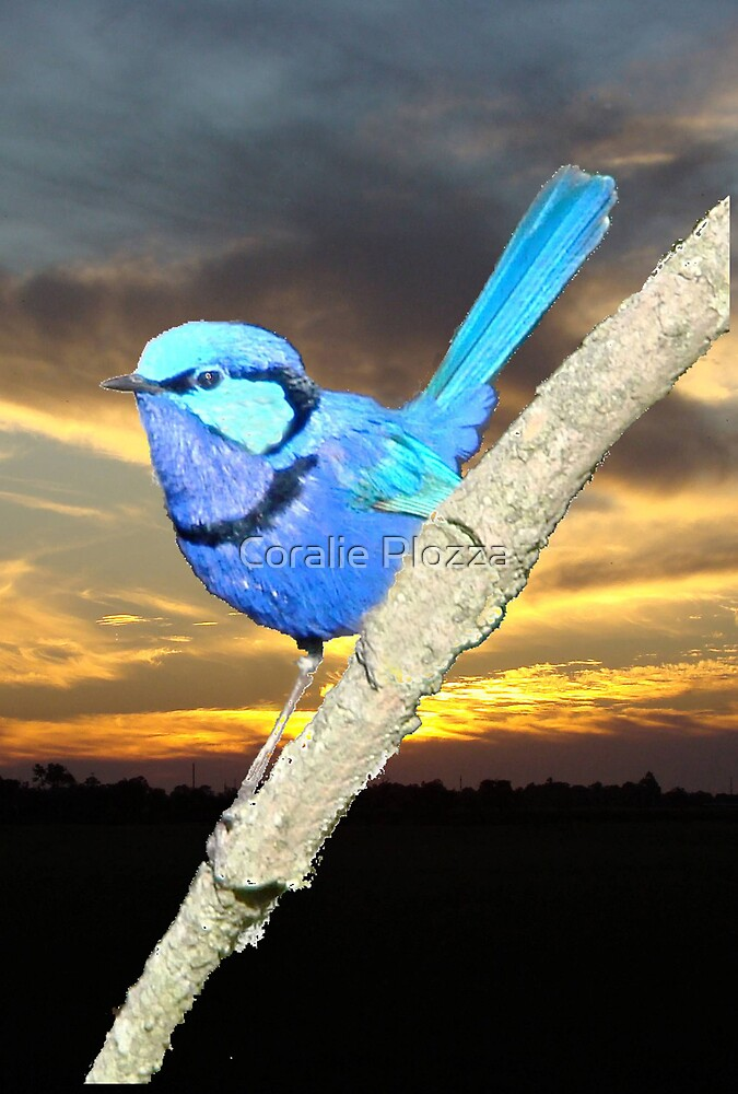 Sunset Blue Wren by Coralie Plozza