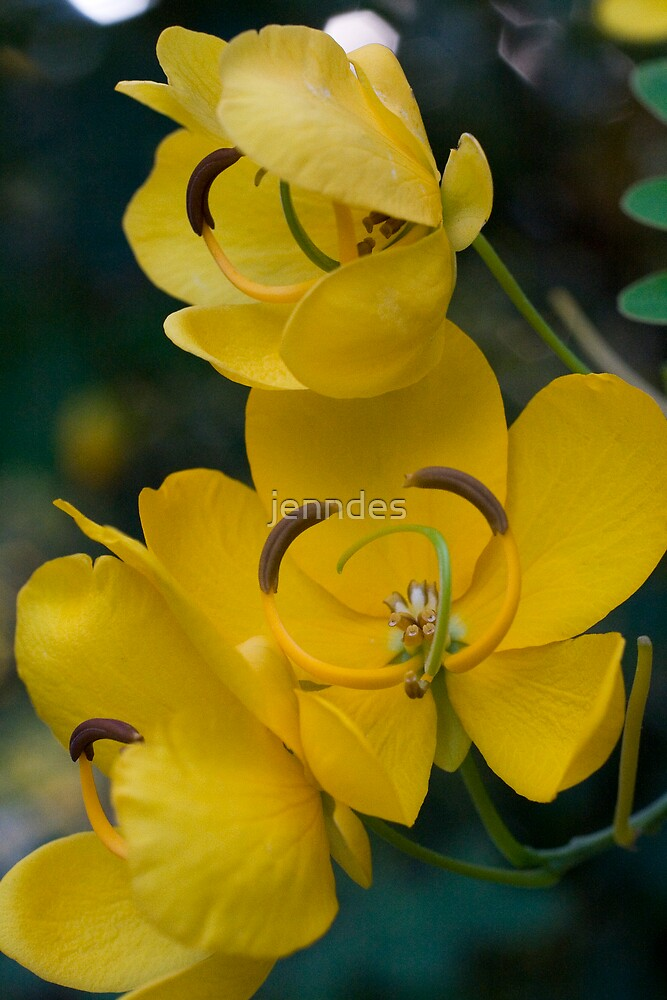 Winter Cassia by jenndes
