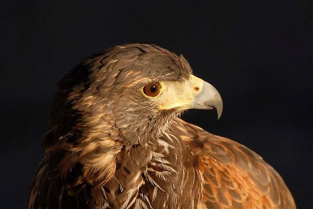 Immature Female Harris Hawk by raptrlvr
