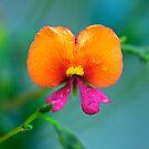 Flame Pea - Chorizema cordatum by Extraordinary Light