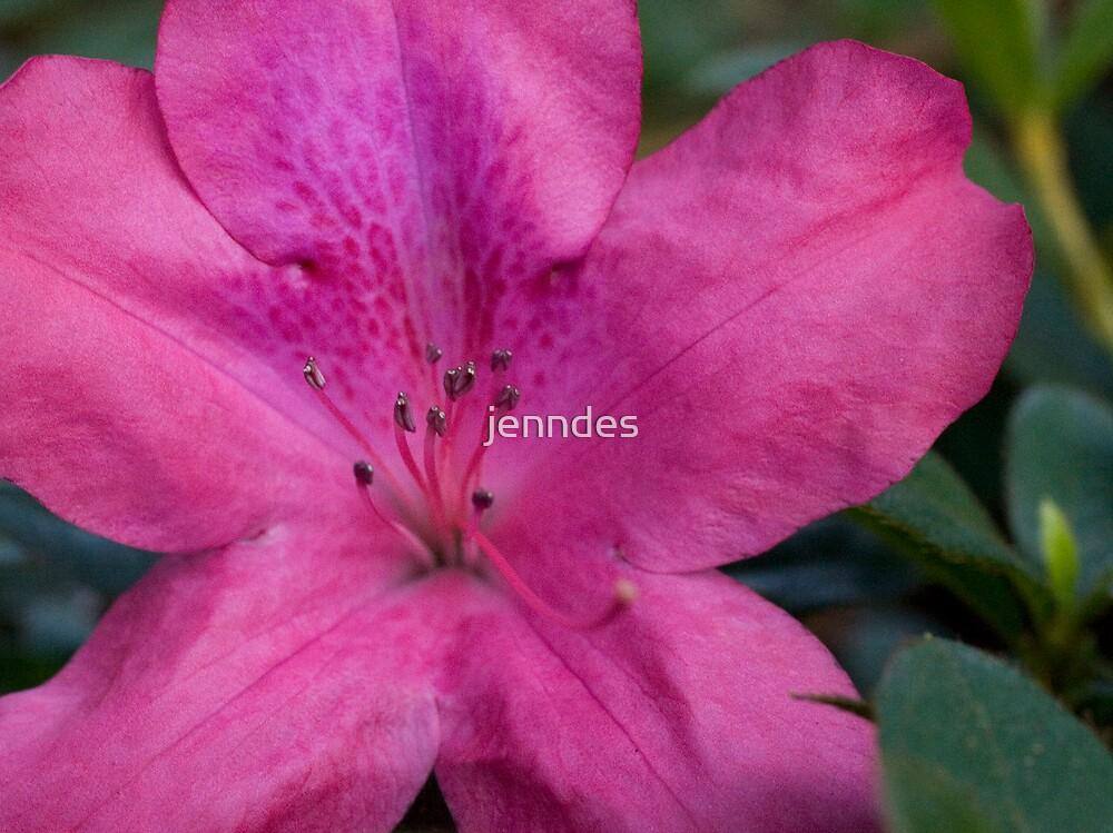 Pink Azalea by jenndes