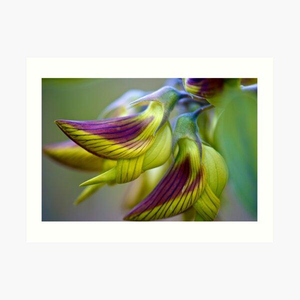 Green Birdflower - Crotalaria cunninghamii Art Print