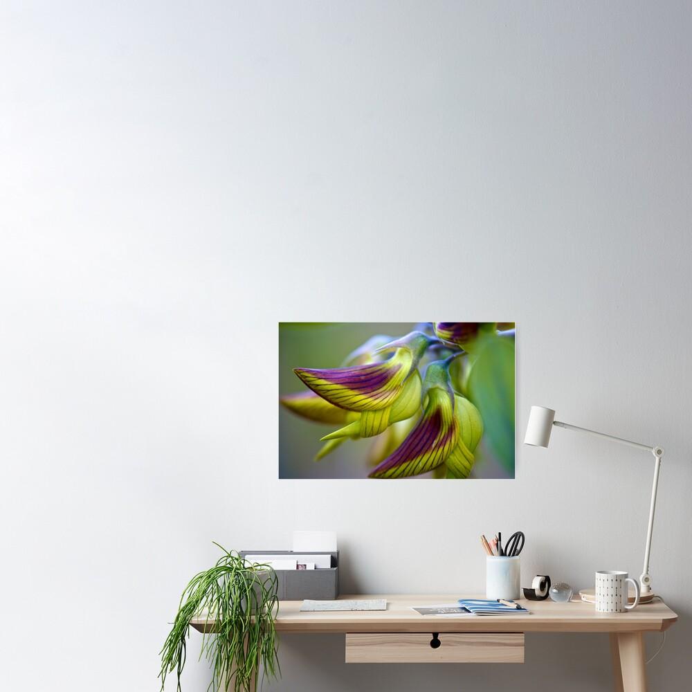 Green Birdflower - Crotalaria cunninghamii Poster