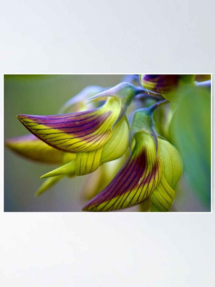 Alternate view of Green Birdflower - Crotalaria cunninghamii Poster