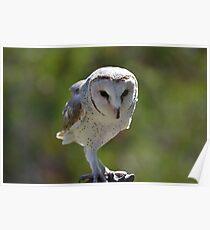 Casper - Australian barn owl Poster