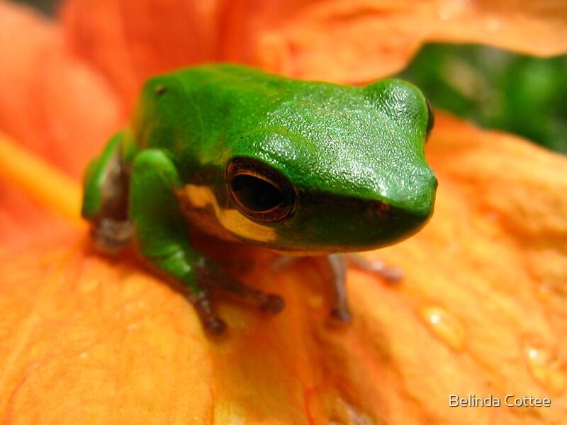 frog on flower by Belinda Cottee