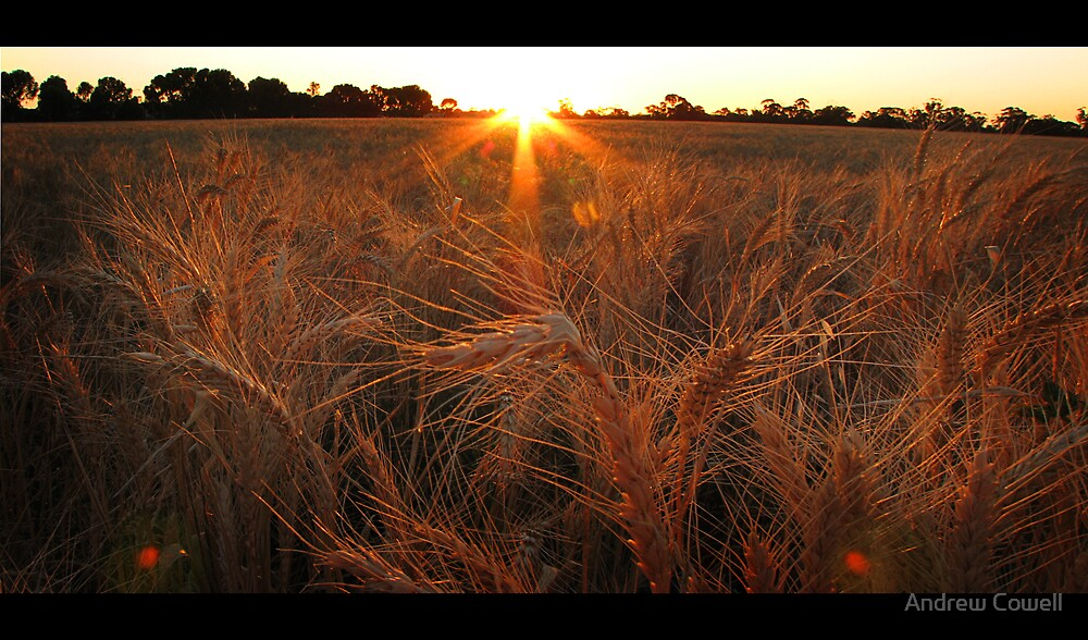 harvest sunrise by Andrew Cowell