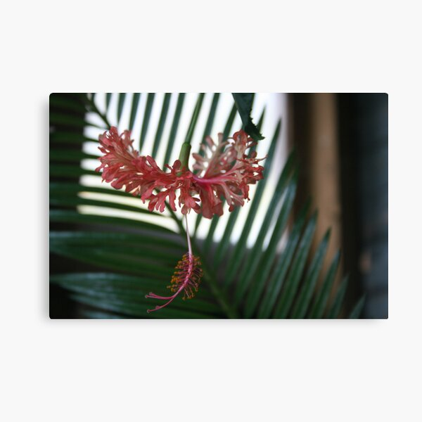 Hibiscus schizopetalus in bloom Canvas Print