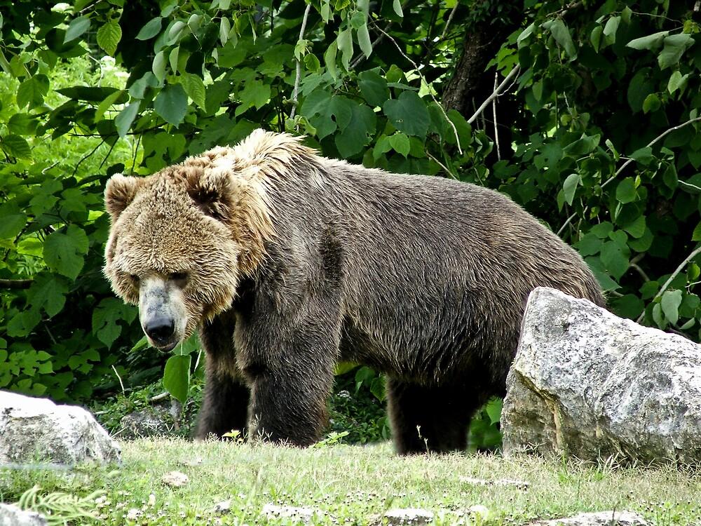 Big Brown Bear by Shadowfax