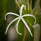 tropical Maldivian flower by kathywaldron