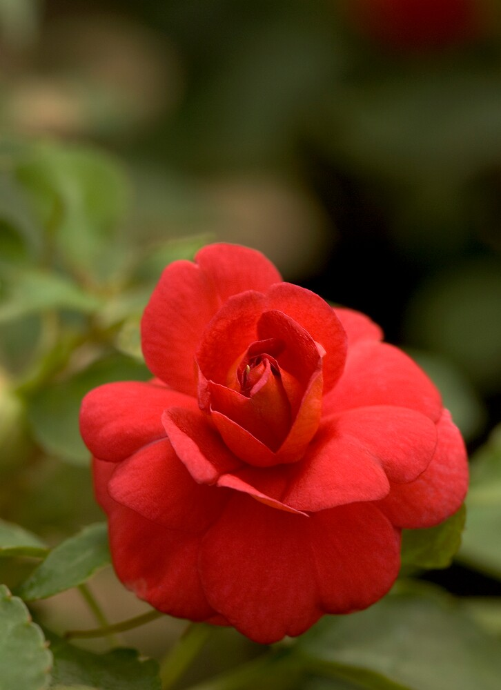 Double Red Impatiens by Dency Kane