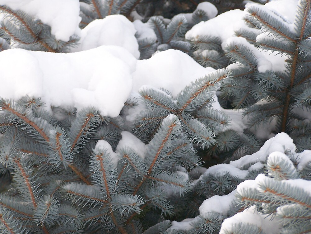 Blue Spruce by Gene Cyr