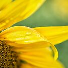 Sunflower by yolanda