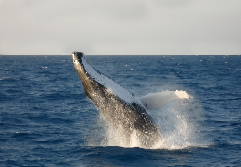 Humpback Whale by Mike Connor