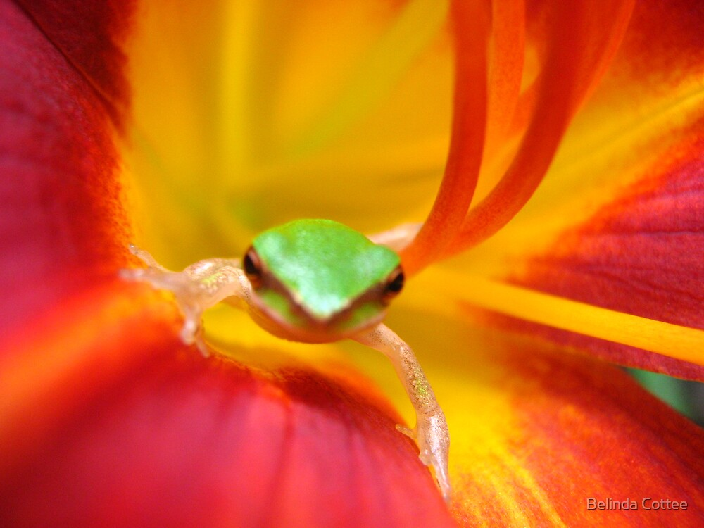 frog in daylilly by Belinda Cottee