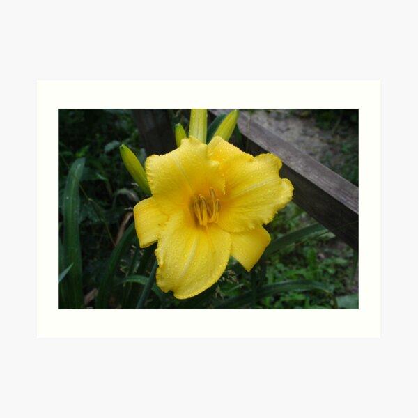 Yellow Daylily Art Print