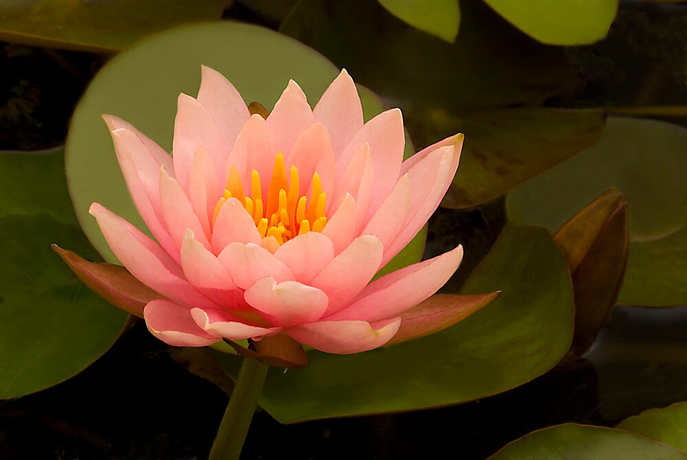 Water Lily 'Colorado' by Dency Kane