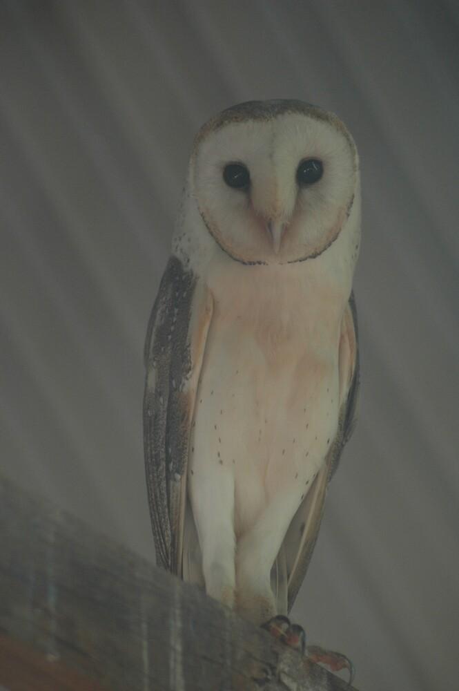 Barn Owl by Kay  Hook
