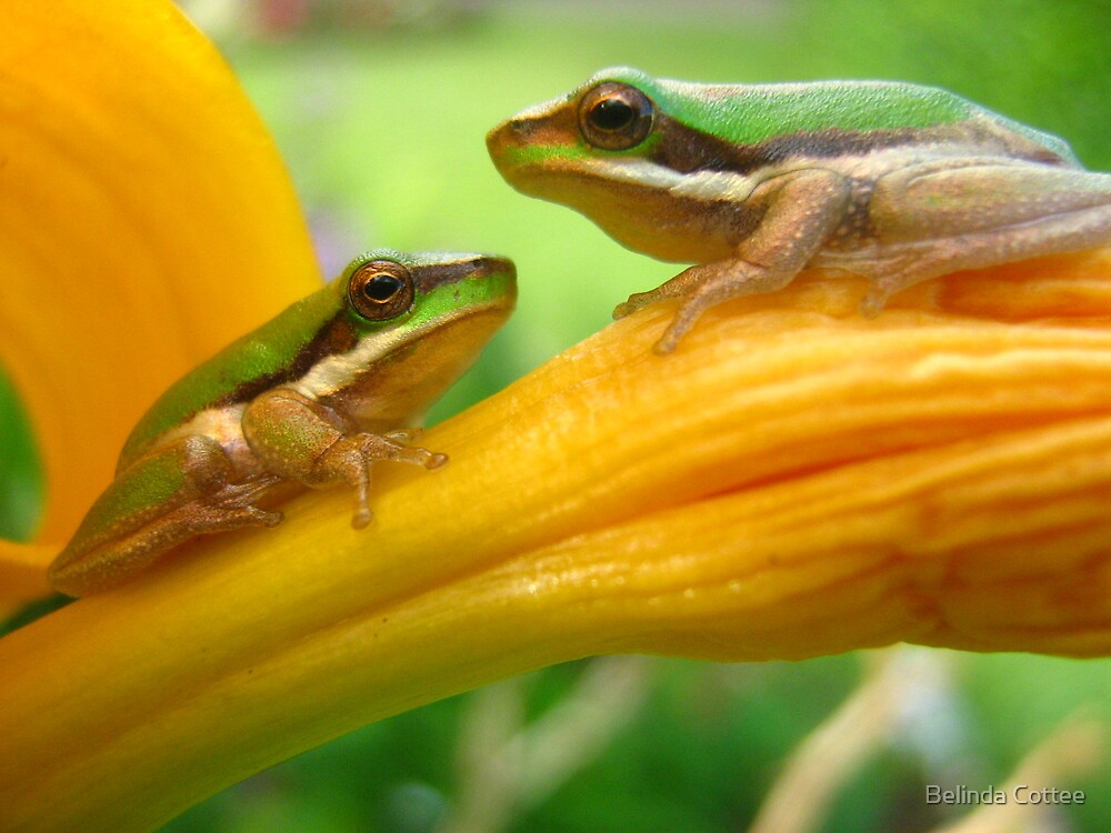 two frogs by Belinda Cottee
