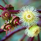 Red-budded Mallee - Eucalyptus by Extraordinary Light