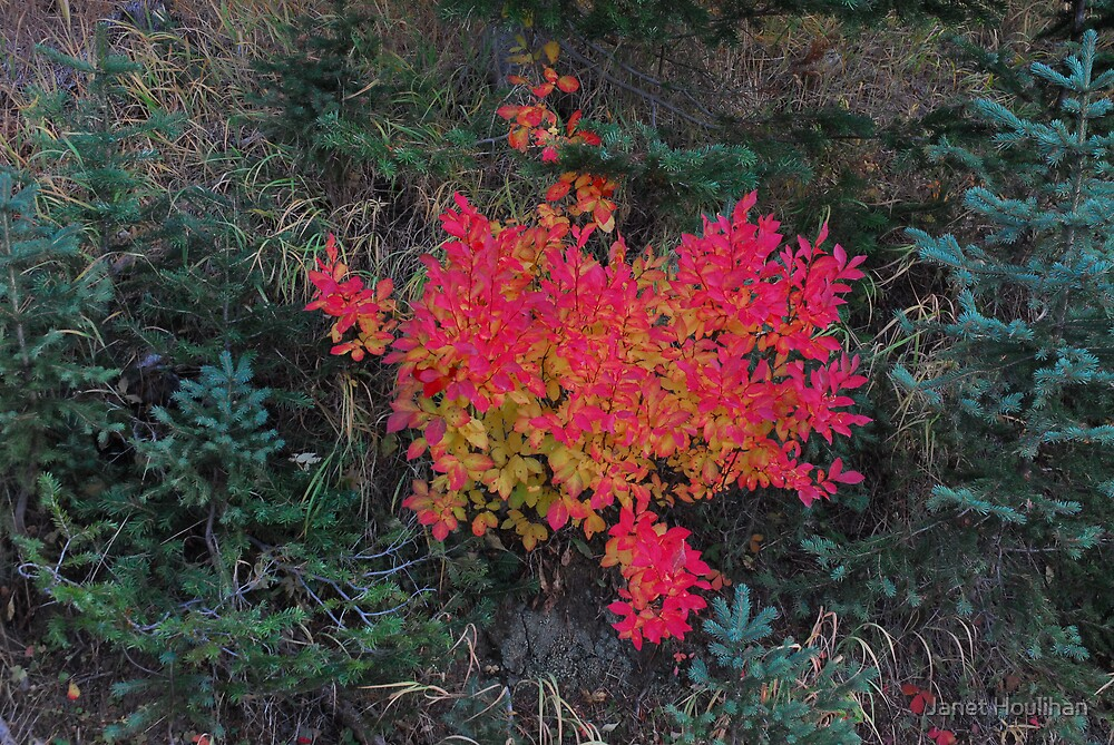 Huckleberry Bush in Fall by Janet Houlihan