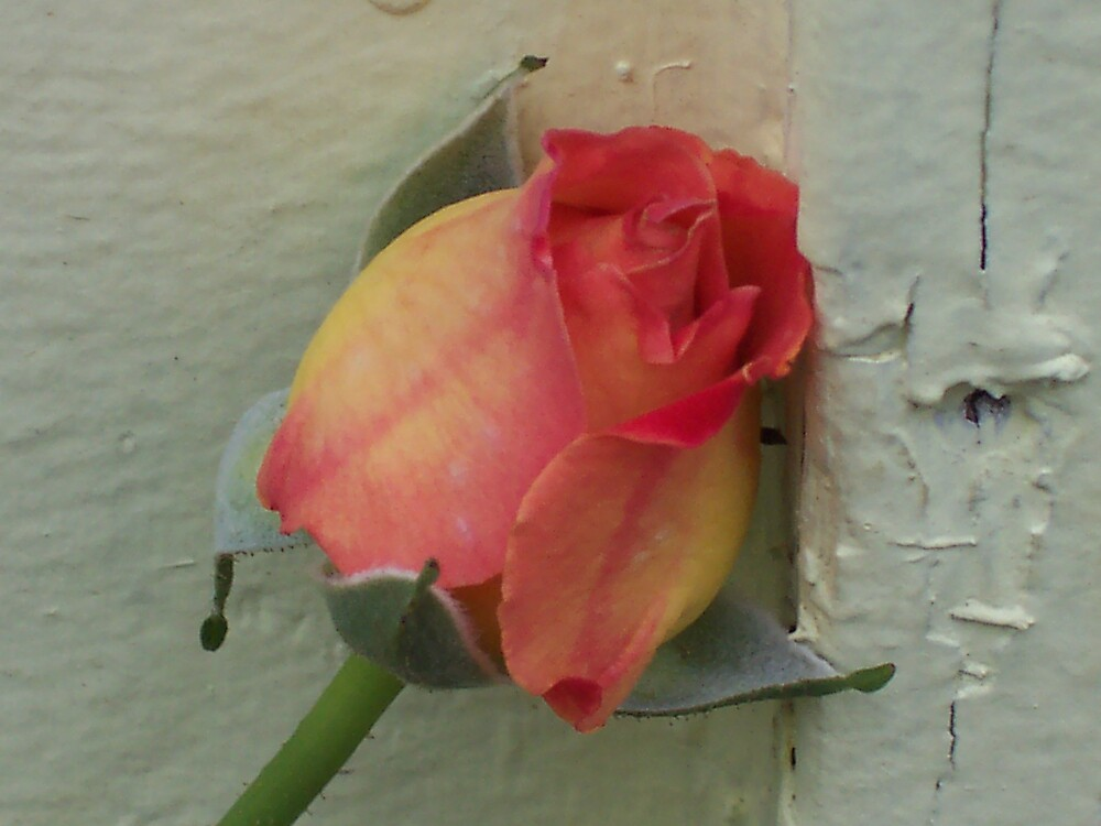 Peachy Rose by thalien