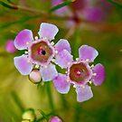 Teatree flowers - Leptospermum by Extraordinary Light
