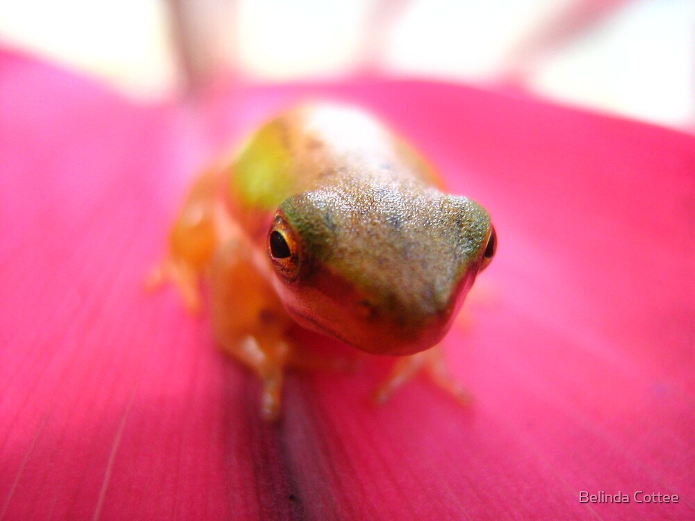 frog on cordyline by Belinda Cottee