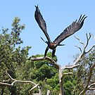 Wedge-Tail Eagle by masterpiececreations