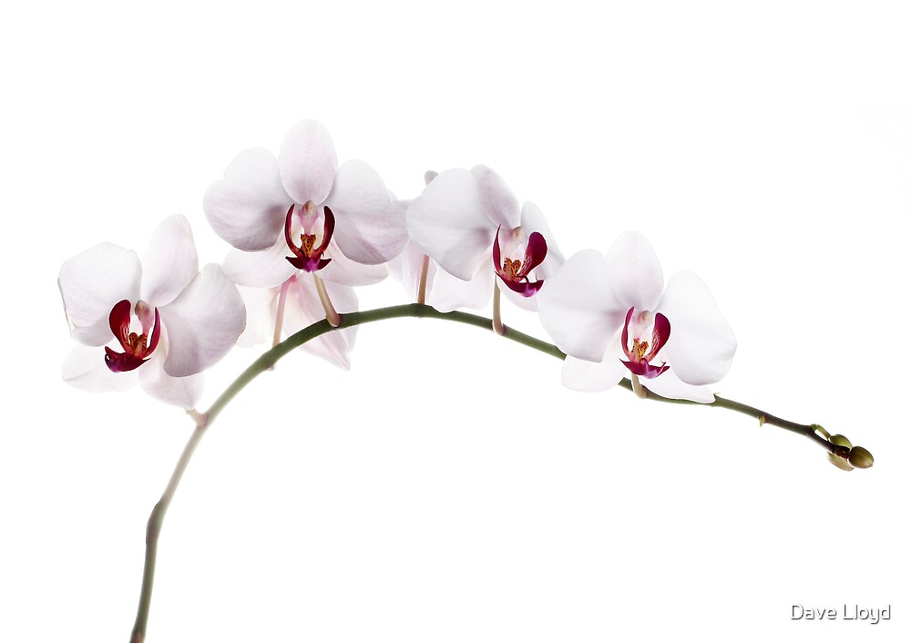 Orchid Light 8 by Dave Lloyd