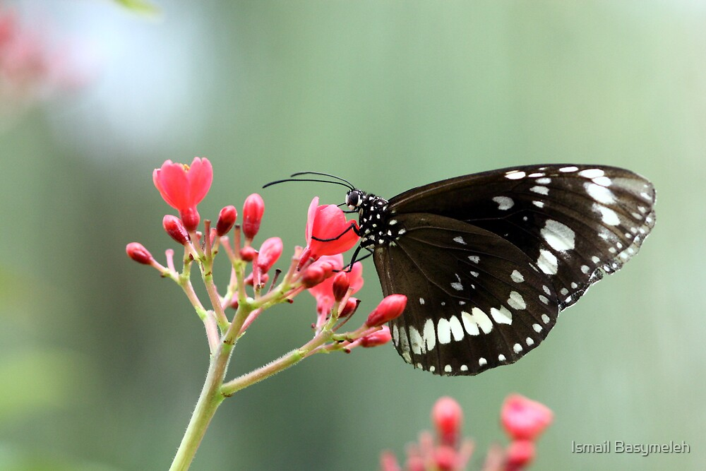 Beautiful Butterfly on Red Flower by Ismail Basymeleh