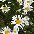 Daisy faces by Lynn Excell