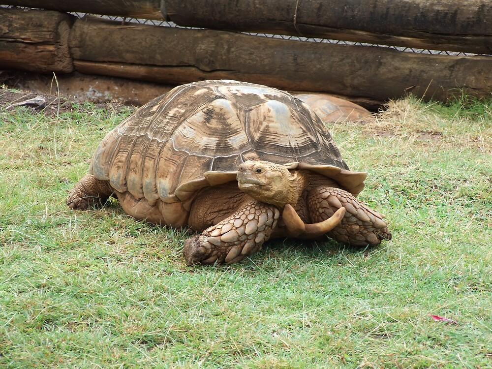Turtles 4 by Lainey Simon