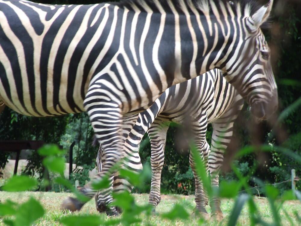 Zebra by Lainey Simon