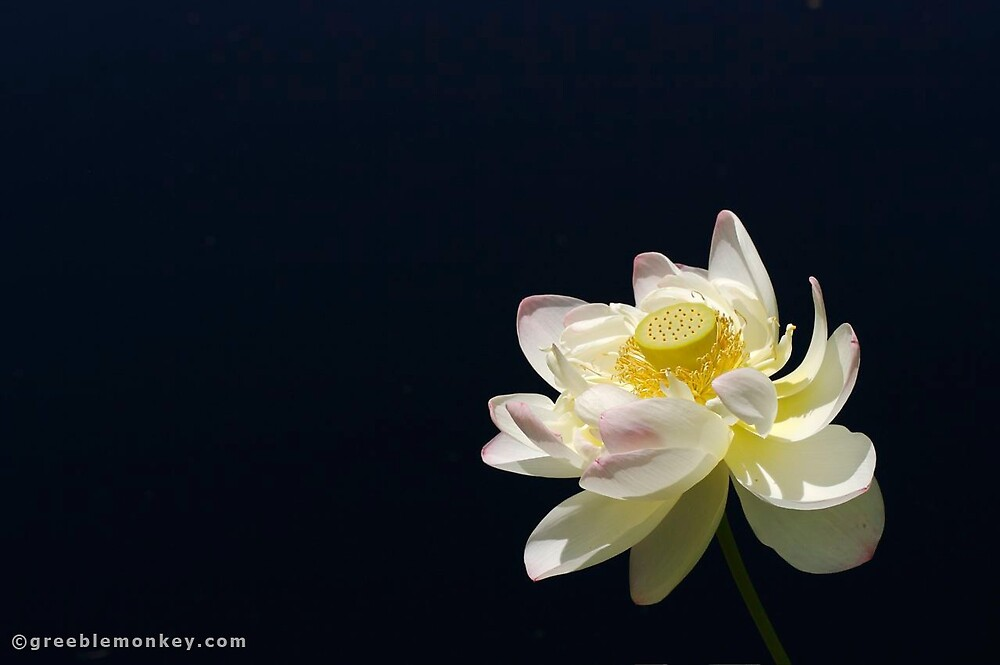 Open Water Lily by greeblemonkey