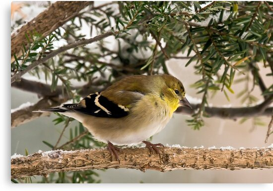 American GoldFinch by Benjamin Young
