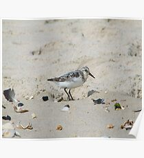 Baby Seagull on the Beach Poster