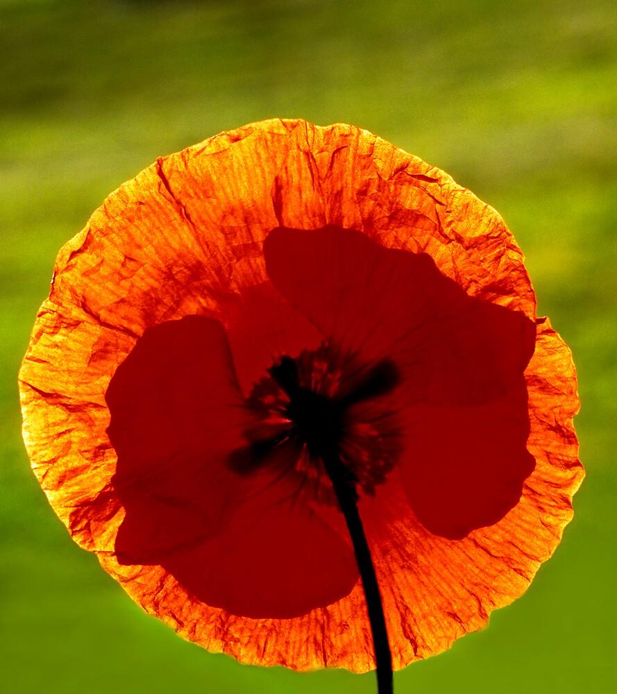 Orange Poppy by Dency Kane