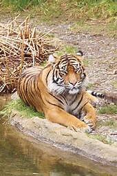 Tiger by VickyLong