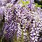 *Avatar-Wisteria or Lilac - Gorgeous Flower Cards*