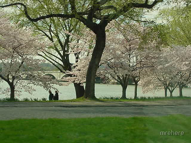 Washington DC Cherry Blossoms by mrehere