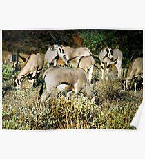 Herd of Gemsbok Oryx Poster