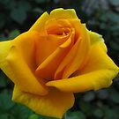 Saffron time by MarianBendeth