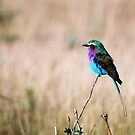 Lilac Breasted Roller by JaneRia