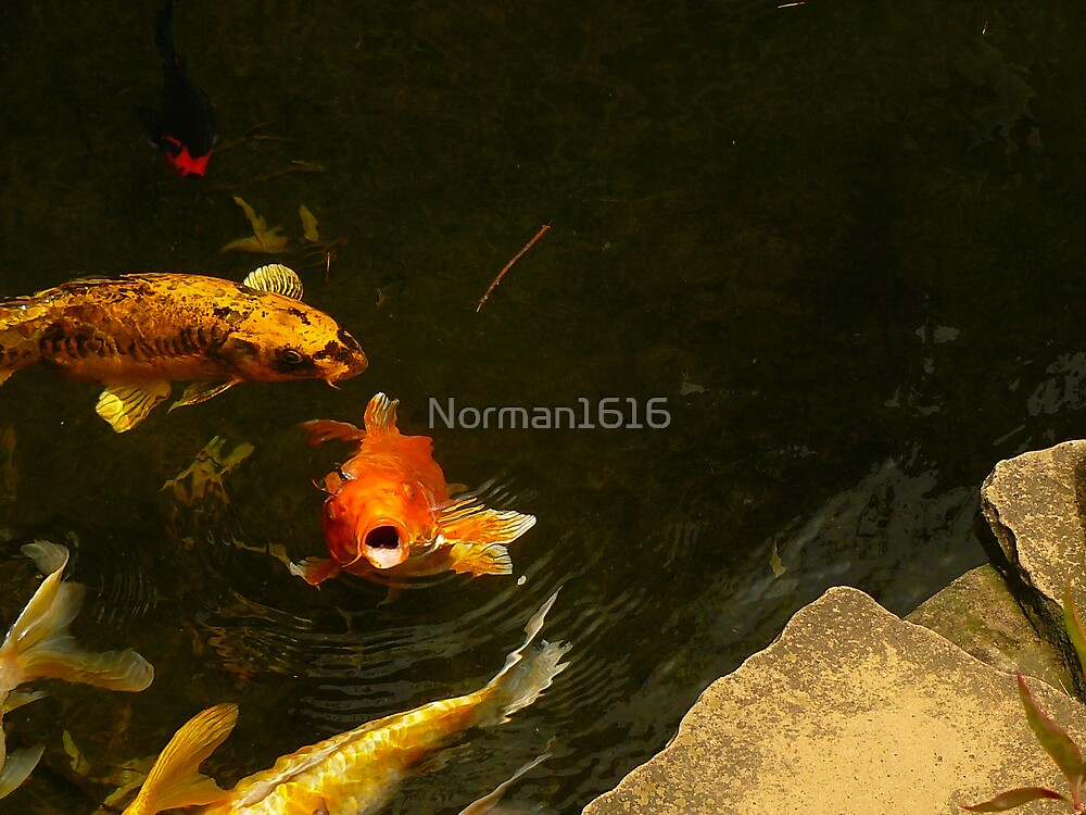 Koi by Norman1616