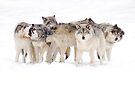 Dysfunctional Family - Timber Wolf by Jim Cumming