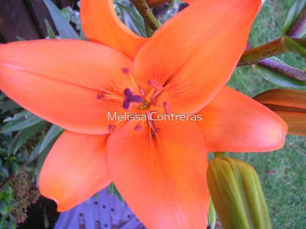 Orangle Lily by Melissa Contreras
